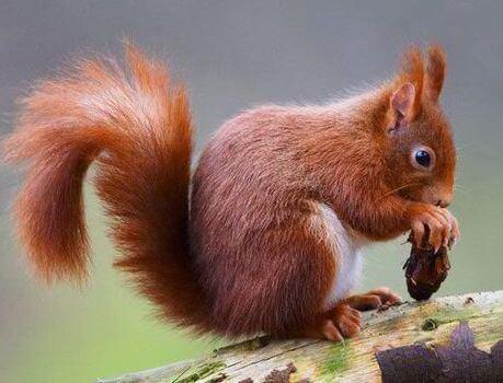 L'augmentation du nombre d'écureuils roux stimule le tourisme au Royaume-Uni